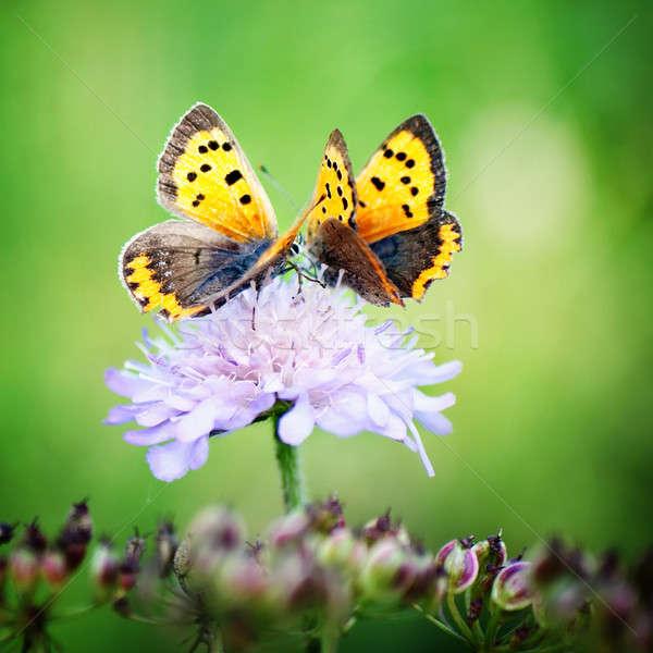 Kettő pillangók virág ül kicsi pillangó Stock fotó © Anettphoto
