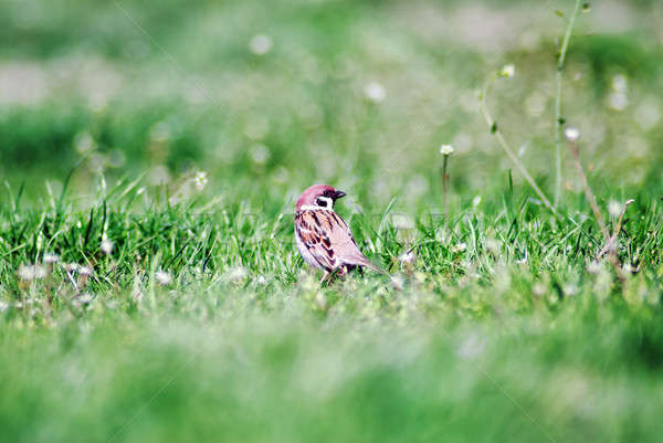 Bird standing in the grass Stock photo © Anettphoto