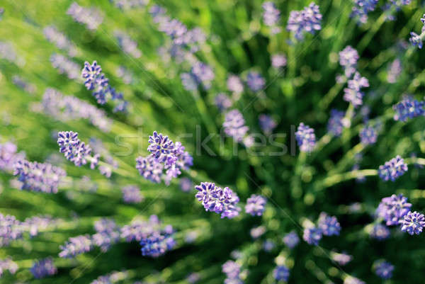 Beautiful detail of a lavender field Stock photo © Anettphoto