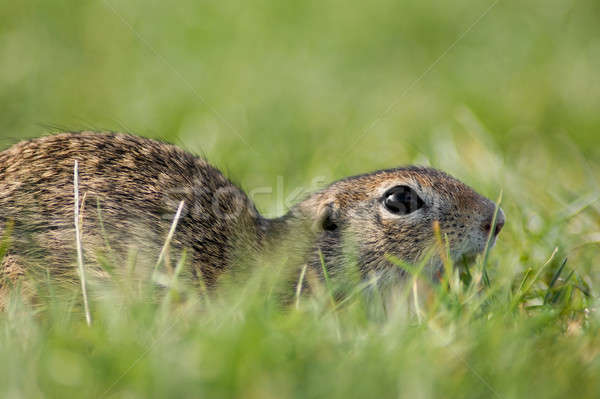 Gopher in the grass Stock photo © Anettphoto