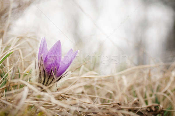Beautiful flower on the meadow Stock photo © Anettphoto