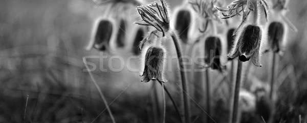 Stock photo: Pulsatilla flowers background