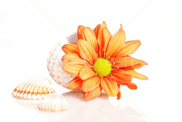 Flower in sea shell over white Stock photo © Anettphoto