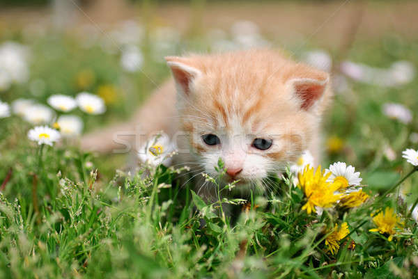 Young cat between flowers Stock photo © Anettphoto
