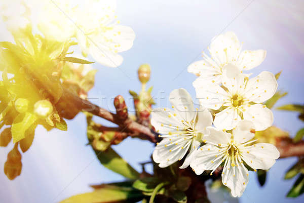 Stock photo: Cherry blossoms with sunlight