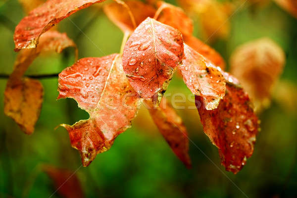 Colorful leaves with raindrops Stock photo © Anettphoto