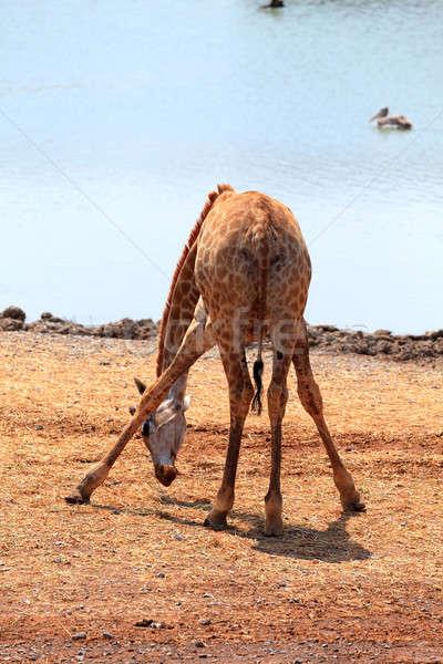 Giraffe  Stock photo © angelp