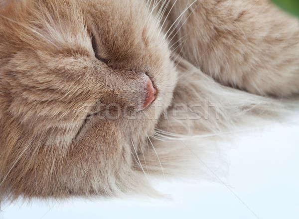 Leniwy snem kot perski Brzoskwinia futra charakter Zdjęcia stock © angelp