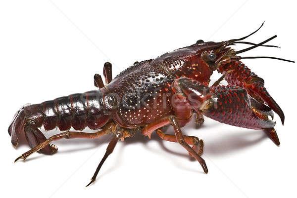 American crayfish. Stock photo © angelsimon