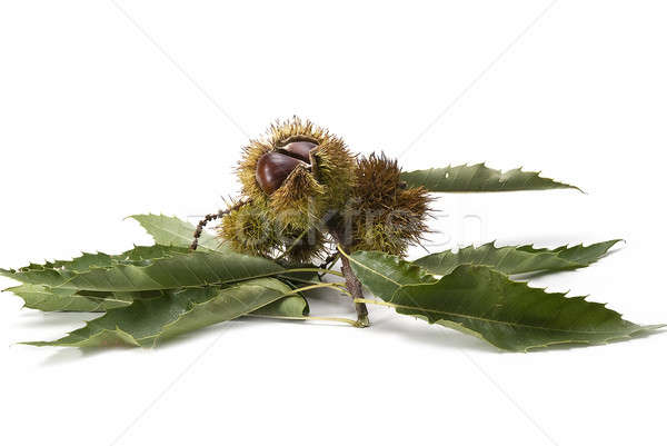 Chestnuts with leaves and burs. Stock photo © angelsimon