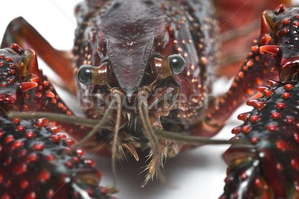 Cabeça fresco vermelho americano fundo pernas Foto stock © angelsimon