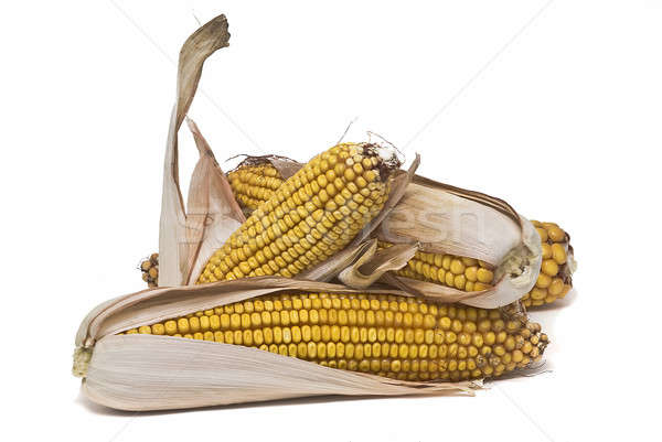 Maize ears isolated over white. Stock photo © angelsimon