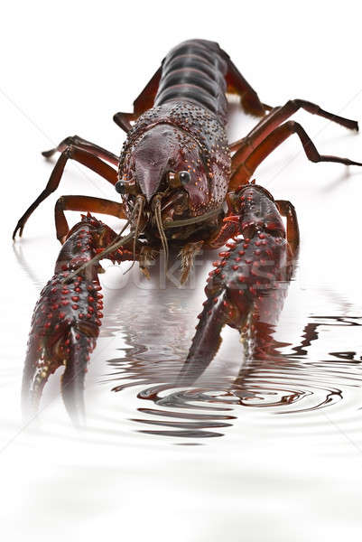Crayfish into water. Stock photo © angelsimon