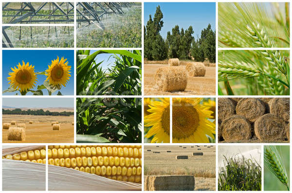 Agriculture collage Photos herbe paysage maïs Photo stock © angelsimon