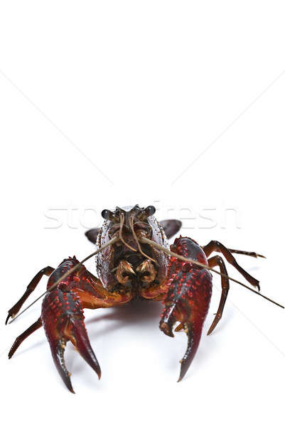 Crayfish and a copy space. Stock photo © angelsimon