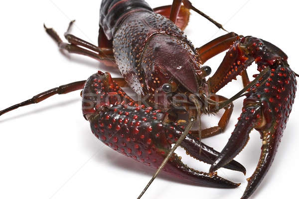 Crayfish with big claws. Stock photo © angelsimon