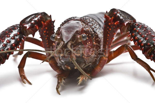 Closeup from a crayfish. Stock photo © angelsimon