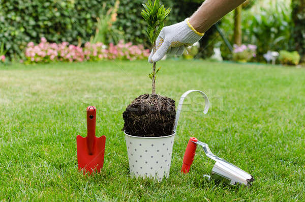 Planting tree in blooming garden Stock photo © anmalkov