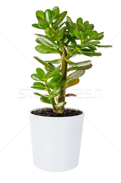 Green Crassula or money tree in white flower pot isolated Stock photo © anmalkov