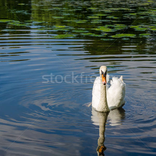 Graceful white swan swimming on water Stock photo © anmalkov