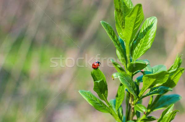 Katicabogár zöld levél természetes közelkép sekély mélységélesség Stock fotó © anmalkov