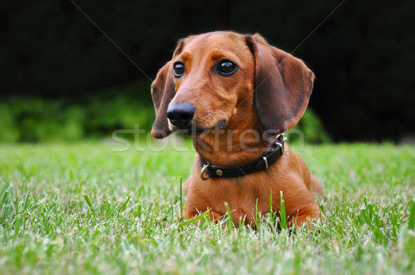 Miniature dachshund dog in park Stock photo © anmalkov