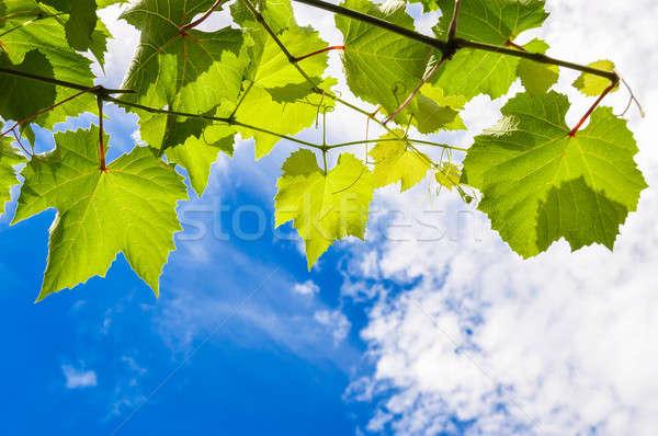 Ensolarado uva folhas ramo azul nublado Foto stock © anmalkov