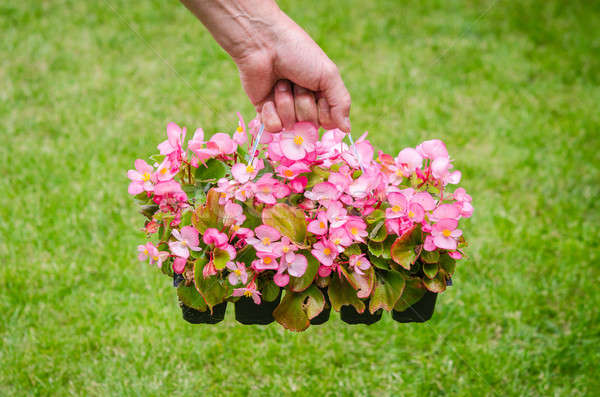 Hand holds container of pink blossom begonia in garden Stock photo © anmalkov