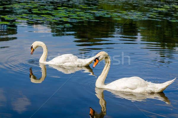 Twee witte zwemmen water natuur liefde Stockfoto © anmalkov