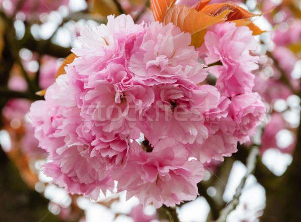 Sakura blossoms Stock photo © anmalkov