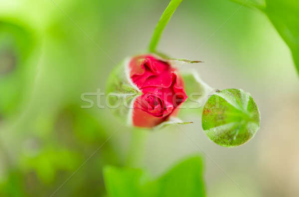 Red rose bud in the blossom garden Stock photo © anmalkov