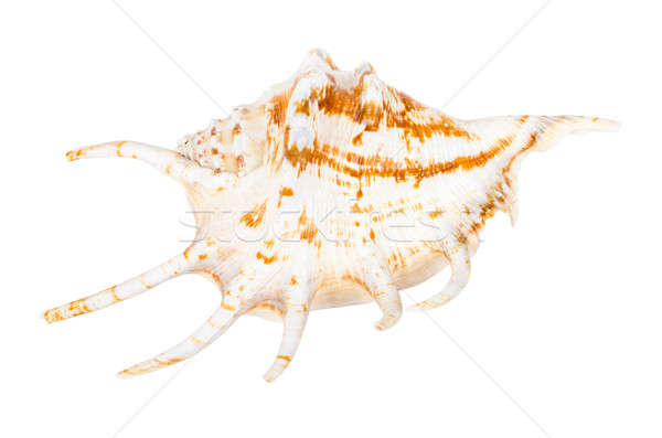Beautifiul ocean shell isolated on white Stock photo © anmalkov
