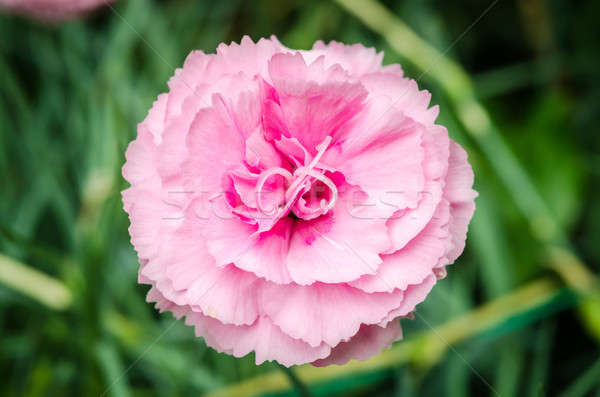 Beautiful pink carnation with green background Stock photo © anmalkov
