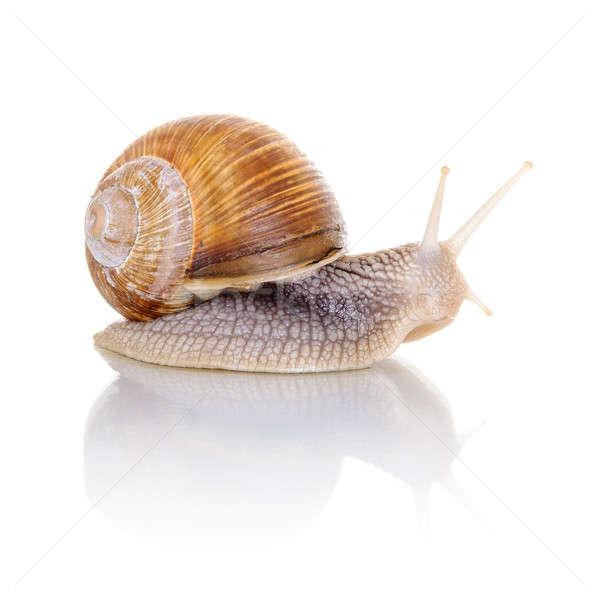 Garden snail Stock photo © anmalkov