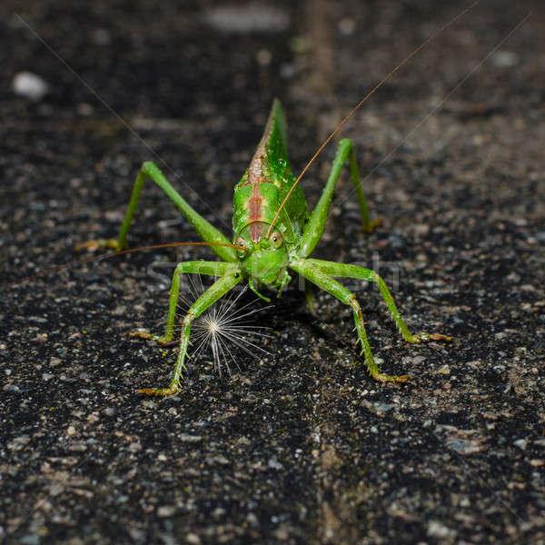 Grünen schauen Insekt Fehler Antenne Sitzung Stock foto © anmalkov