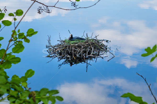 Stock photo: Common coot bird nest on water Fulica Atra