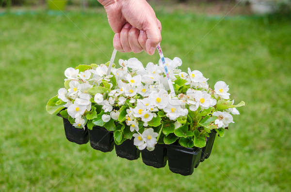 Hand holds container of white blossom begonia in garden Stock photo © anmalkov