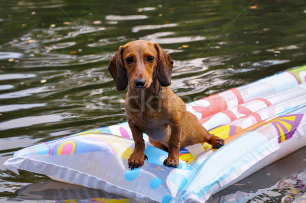 Wet miniature dachshund dog in water Stock photo © anmalkov
