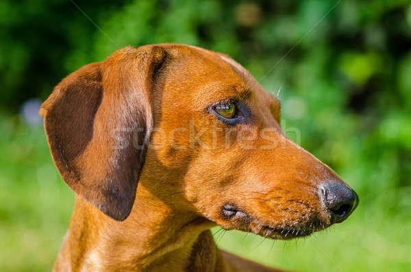Portrait of dachshund dog at park Stock photo © anmalkov
