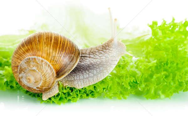 Garden snail on lettuce leaf Stock photo © anmalkov