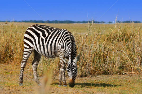 African Wild Zibra grazing Stock photo © Anna_Om