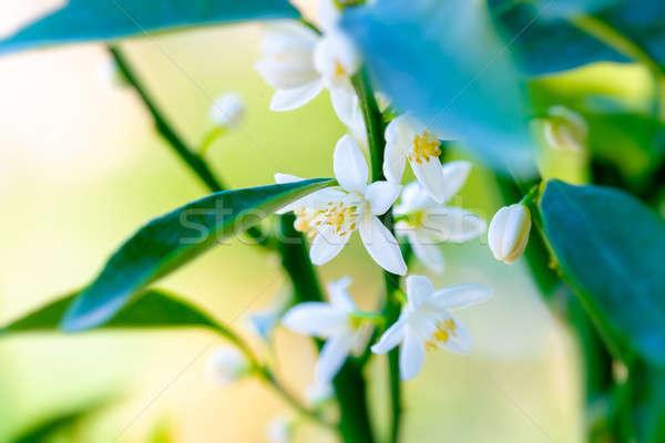 Mandarin blooming tree Stock photo © Anna_Om