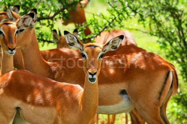 アフリカ ケニア 春 森林 ゲーム ストックフォト © Anna_Om