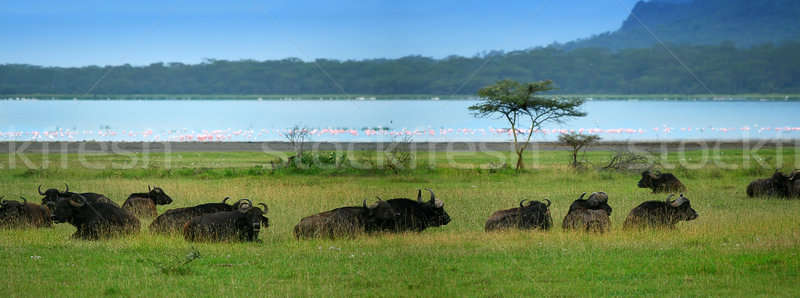 Herd of Buffalos Stock photo © Anna_Om