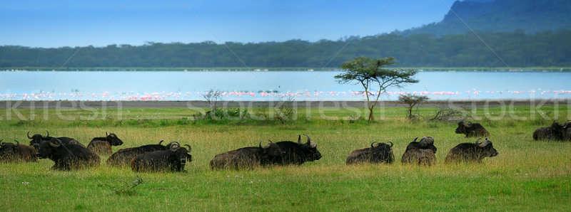 Stock photo: Herd of Buffalos