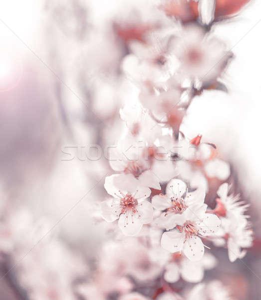 Cherry blossom Stock photo © Anna_Om