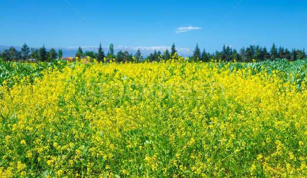 Rapeseed field of fresh flowers Stock photo © Anna_Om