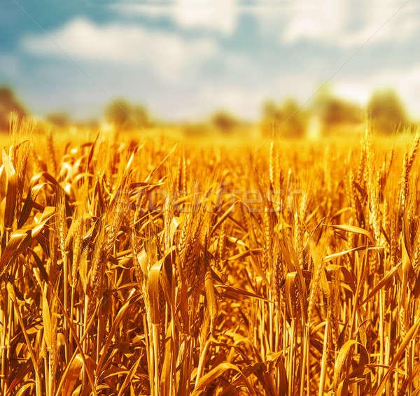 美しい 麦畑 青 曇った 空 オーガニック ストックフォト © Anna_Om