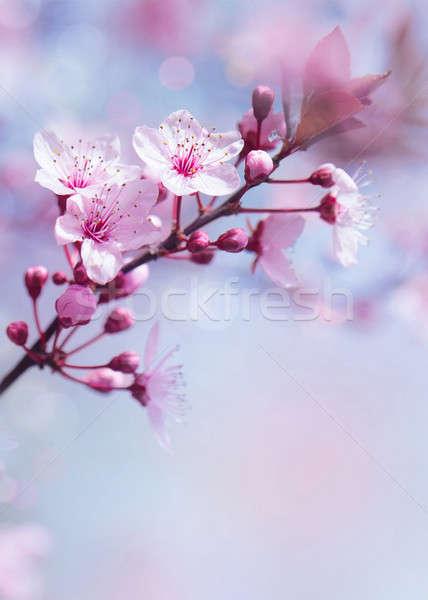 весна дерево нежный свежие Вишневое Сток-фото © Anna_Om