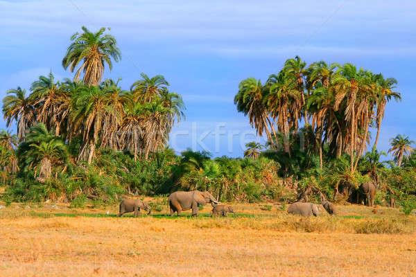 Elephants in the wild Stock photo © Anna_Om